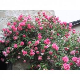 rosier perd ses boutons de fleurs
