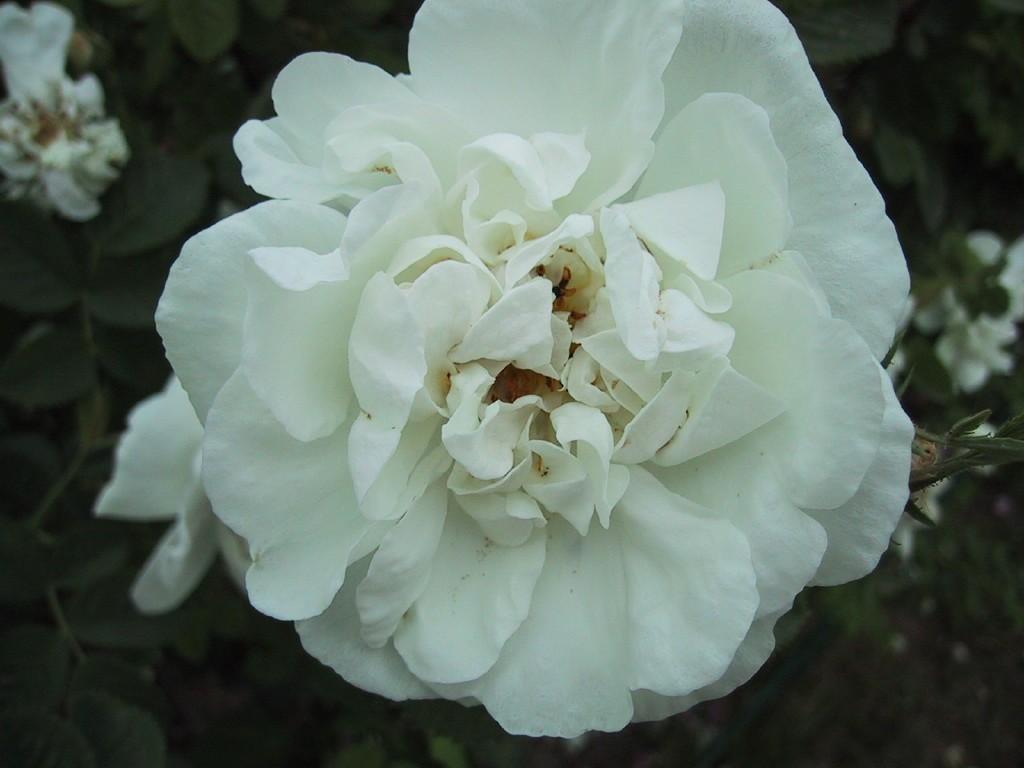 rosa-x-alba-maxima.jpg