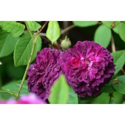 Petite Renoncule Violette