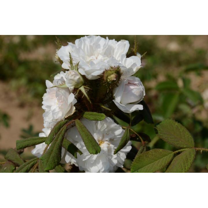 Quatre Saisons Blanc Mousseux