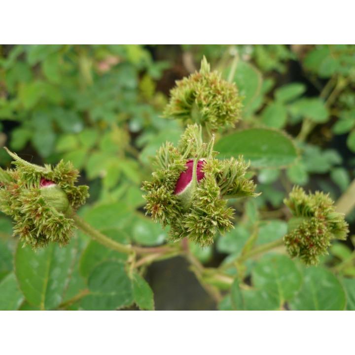 Rosa Centifolia Cristata