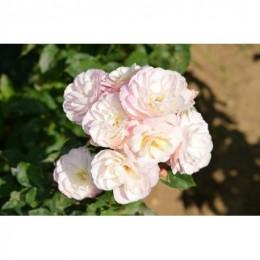 Tige Bouquet Parfait