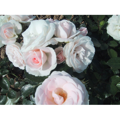 1/2 Tige Aspirine Rose