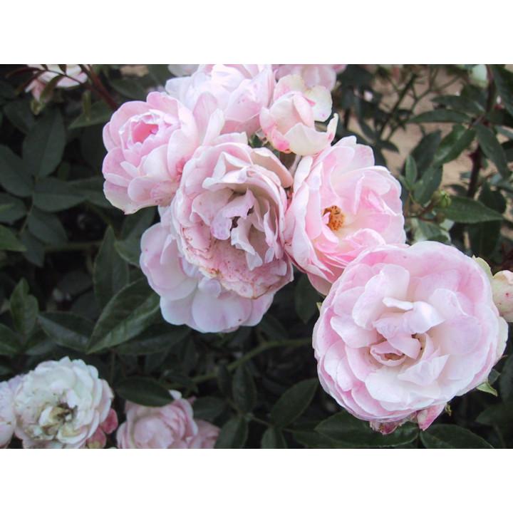 1/2 Tige Koster Rose
