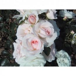 Tige Aspirine Rose
