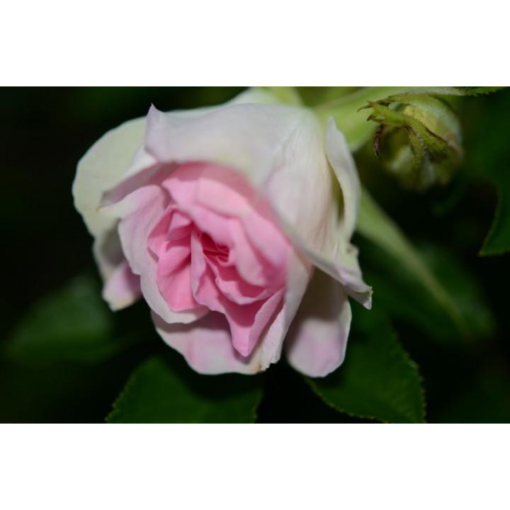 Rosa x Kamtchatca