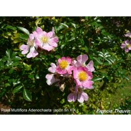 Rosa Multiflora Adenochaeta