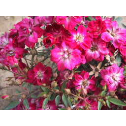 Rosa Chinensis Minima