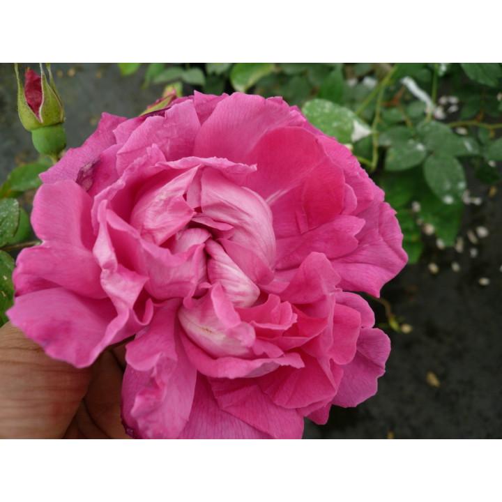 Rose à Parfum de l'Haÿ