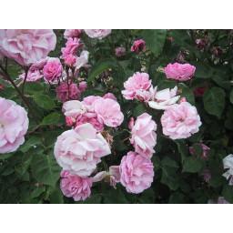 Marguerite Rose*