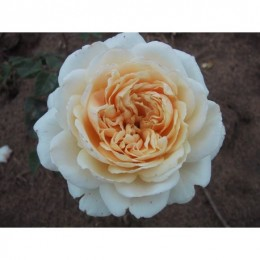 Crocus Rose