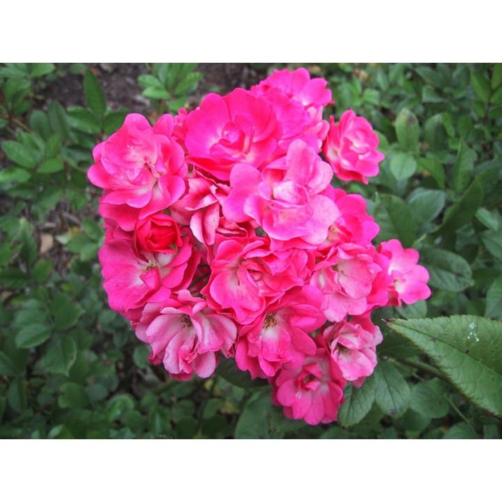 Orléans Rose*