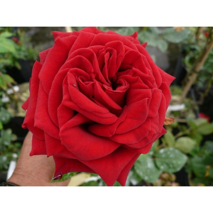 Rouge Adam