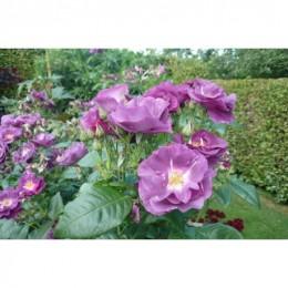 rosiers buissons et arbustes 50 p pini re francia thauvin. Black Bedroom Furniture Sets. Home Design Ideas