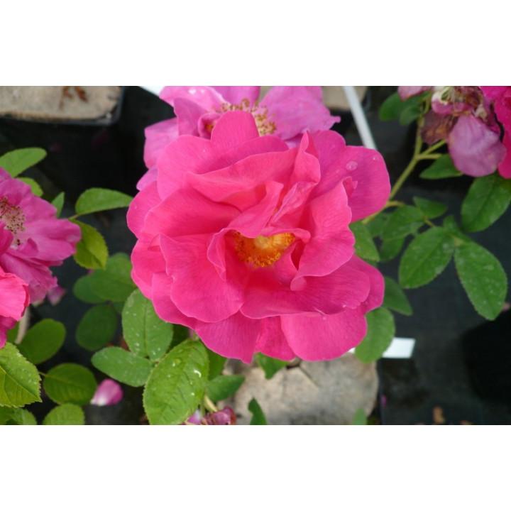 Rosa Gallica Officinalis