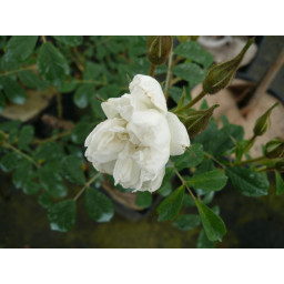 Tenuifolia*