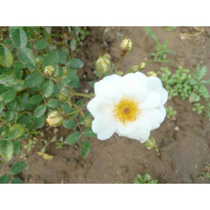 Bouquet Blanc*