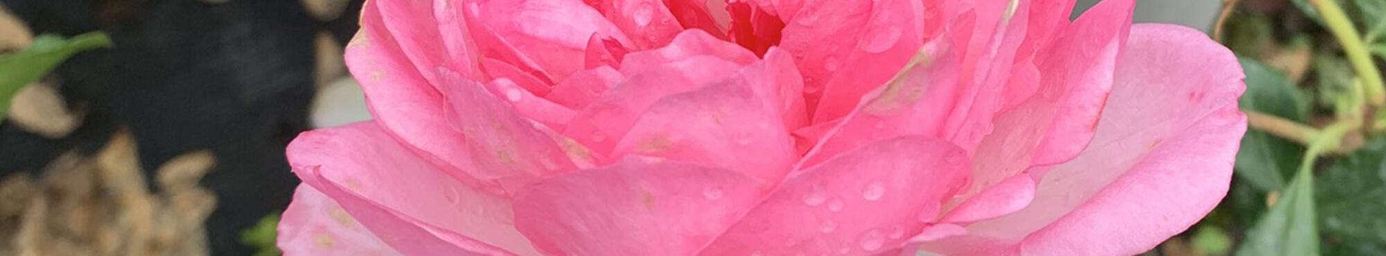 Rosiers pour vos bouquets
